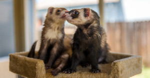 Help Legalize Ferrets in California by joining the 3000 Club